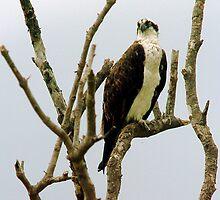 Osprey in naked tree by Larry  Grayam
