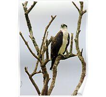 Osprey in naked tree Poster
