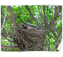 Nest of baby Robins  Poster