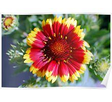 blanket flower  Poster