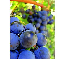 redwine harvest Photographic Print