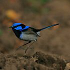Fairy Wren hop.. by Donovan wilson