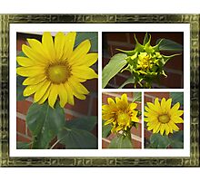 Sunflower Collage Photographic Print