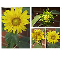 Sunflower Collage 2 Photographic Print