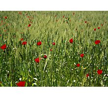 Red Poppies Growing In A Corn Field  Photographic Print