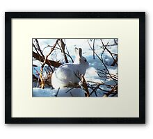Young Arctic Hare