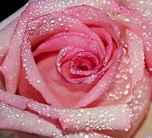 A rose by Dipali S