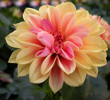 Peachy Dahlia by Tammy Houston