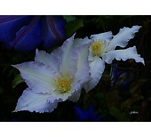 Clematis Gladys Picard Photographic Print
