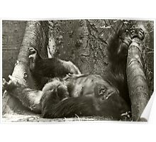 Congo Gorilla Poster