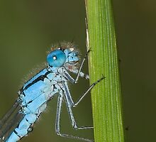 common blue damselfly by Matt Sillence