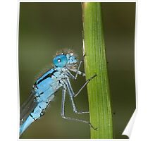 common blue damselfly Poster