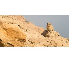 Israel, Judean Desert, Rock Hyrax, (Procavia capensis) Photographic Print