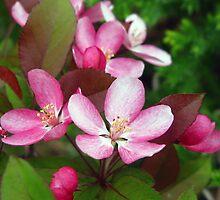 Crab Apple Blossoms by Epazia Espino