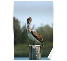 Pelican Watching Poster