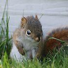 Red Squirrel Baby  by Lynda   McDonald