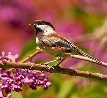 CHESTNUT-BACKED CHICKADEE by Sandy Stewart