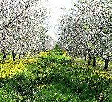 Apple Blossoms In Adams County by AngieDavies