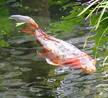 Koi by Tracy Faught