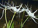 Alligator Lily by Elizabeth Fye - Hymenocallis palmeri by MotherNature
