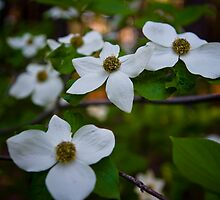 Dogwood Flowers by photosbyflood