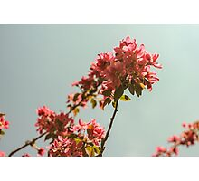 Pink blossom tree. Retro version Photographic Print