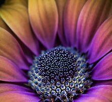 Rainbow Osteospermum by alan shapiro