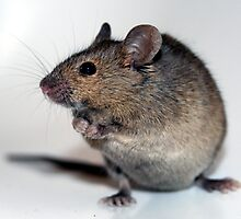 House mouse by Paul Holland
