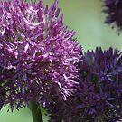 Purple by Margaret  Shark