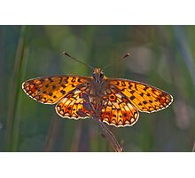 Backlit small pearl-bordered fritillary Photographic Print