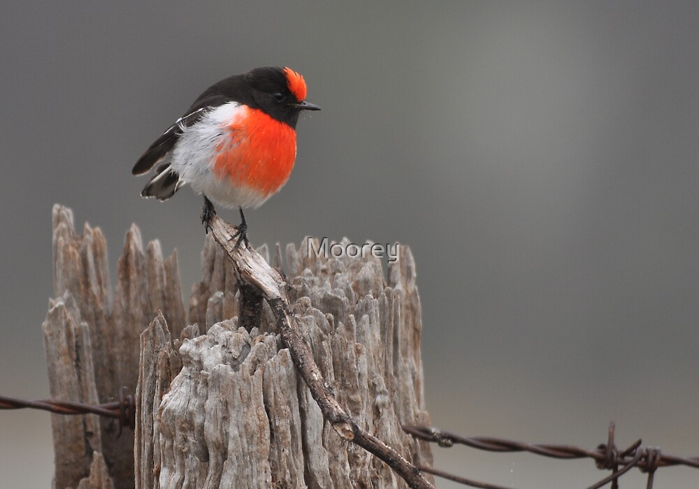 Red Capped Robin #2 by Moorey