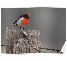 Red Capped Robin #2 Poster