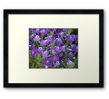 purple petunia Framed Print