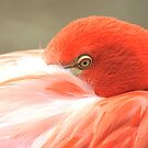 Flamingo eye from Zoo  by loiteke