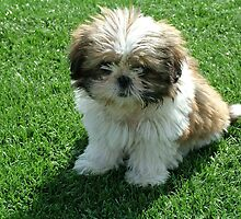 Super Shih Tzu by welovethedogs