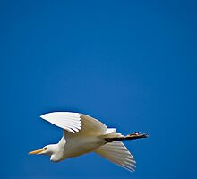 Cattle Egret in Flight by RatManDude