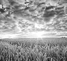Wheatfield  by James Coard