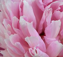 Peony PINK! by Karen K Smith