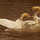 Swan Battle by Richard Heeks