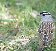 White-crowned Sparrow 2 by LynyrdSky