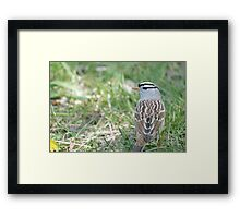 White-crowned Sparrow 2 Framed Print