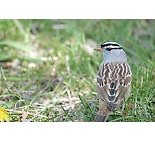 White-crowned Sparrow 2 Photographic Print