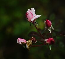Dark Pink Roses by Captured Moments