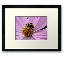 Bumble-bee in action Framed Print
