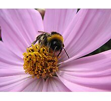 Bumble-bee in action Photographic Print