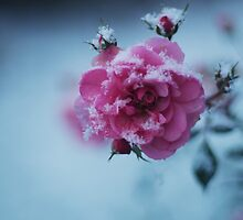 Snow Covered Rose by Captured Moments