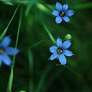 little blue flowers by Jeff Stroud