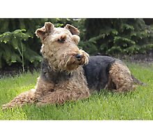 Random Welsh Terrier Photographic Print