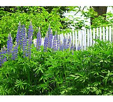 Lupines by picket fence Photographic Print