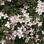 Spring is in the Air - Clematis Buds and Blossoms by MidnightMelody